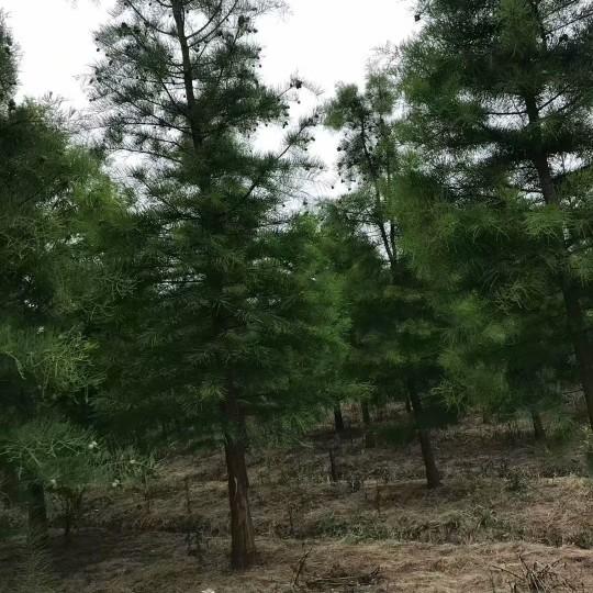 3公分池杉价格 江苏池杉基地