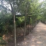 7公分榉树价格 江苏榉树基地