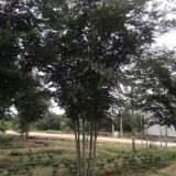 3公分榉树价格 江苏榉树基地