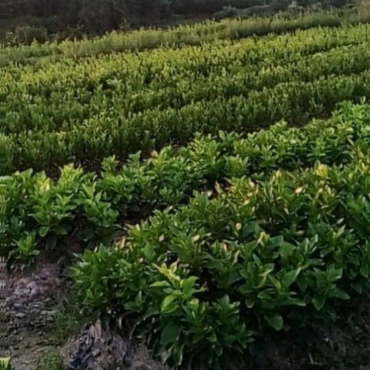 金秋沙糖桔苗价格 金秋沙糖桔苗多少钱一棵