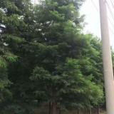15公分中山杉价格 江苏中山杉基地