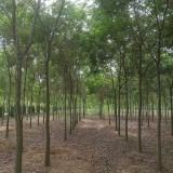 10公分榉树价格 江苏榉树基地
