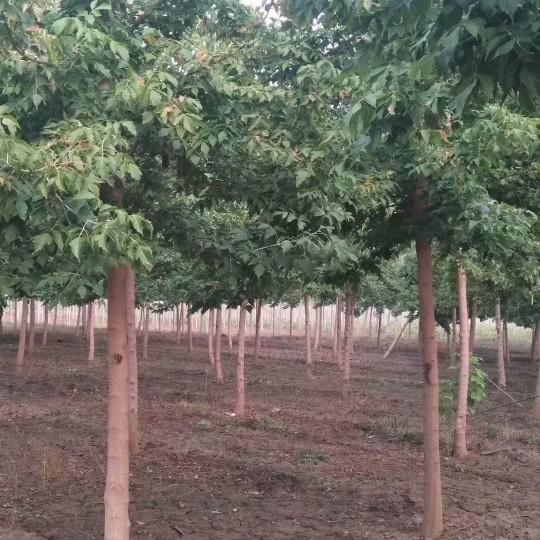 5公分青叶复叶槭价格 江苏复叶槭基地