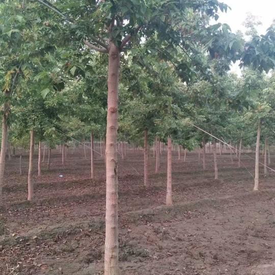 10公分青叶复叶槭价格 江苏复叶槭基地