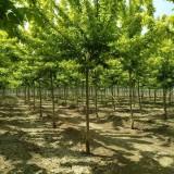 15公分青叶复叶槭价格 江苏复叶槭基地
