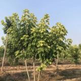 12公分青叶复叶槭价格 江苏复叶槭基地