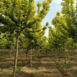 18公分青叶复叶槭价格 江苏复叶槭基地