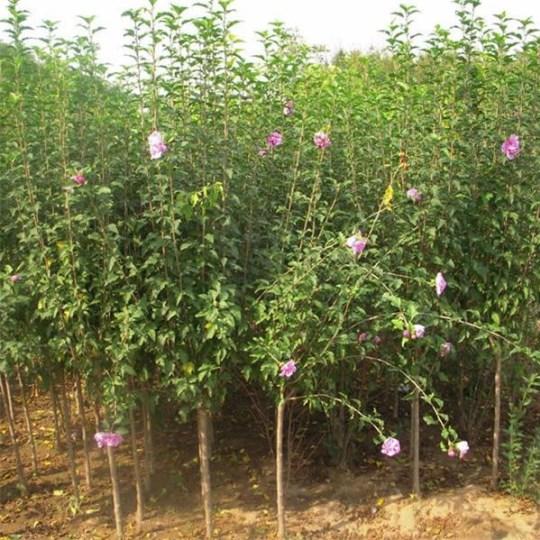 丛生木槿小苗价格  丛生木槿小苗哪里有卖