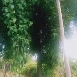 30公分皂角树价格 江苏皂角树多少钱一棵