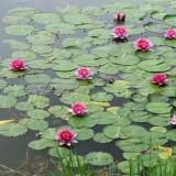 红花碗莲价格 江苏水生植物基地