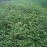 当年花椒小苗哪里有泰安基地量大优惠