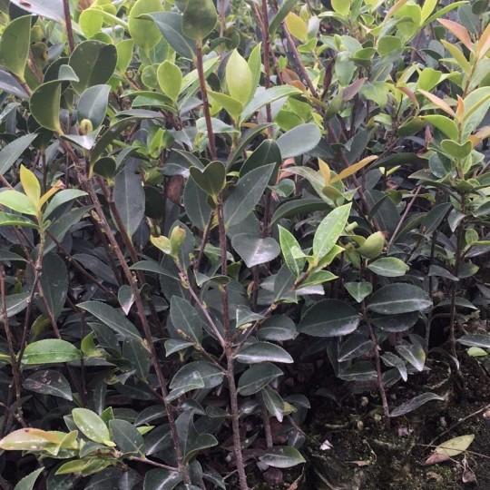 新杉油茶苗木