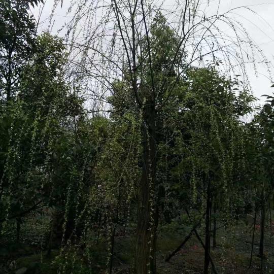2019最新柳树价格 成都柳树树苗批发采购