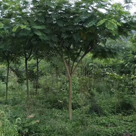 8公分合欢树价格 江苏合欢树基地