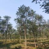 4公分臭椿树价格 江苏臭椿树基地