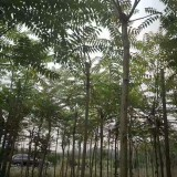 8公分臭椿树价格 江苏臭椿树基地