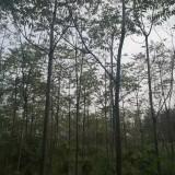 10公分臭椿树价格 江苏臭椿树基地