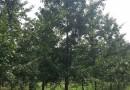 江苏常年供应红榉树