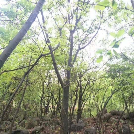 黄连木价格多少钱一棵 15公分黄连木批发