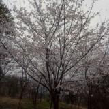 日本早樱报价单 日本早樱种植基地
