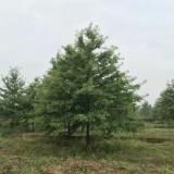 25公分娜塔栎价格 江苏娜塔栎基地