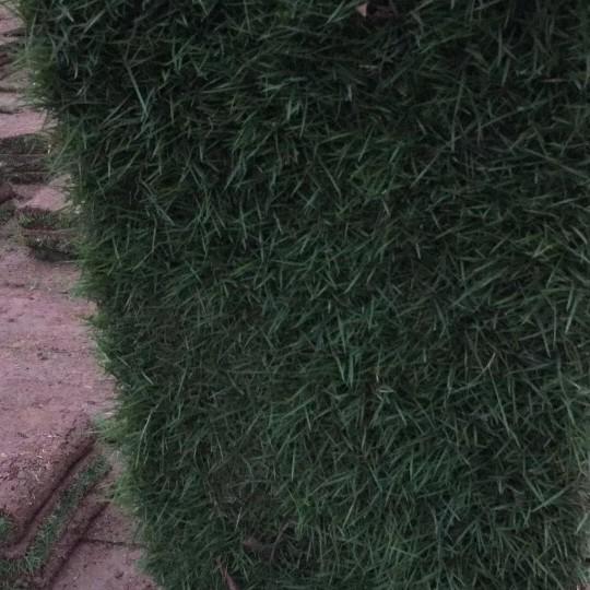 马尼拉草皮价格 最新马尼拉草坪价格