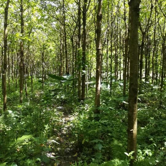 15公分秋枫树 米径15公分秋枫价格