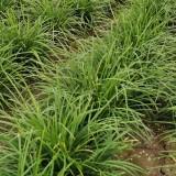 麦冬草价格多少 麦冬草今日报价
