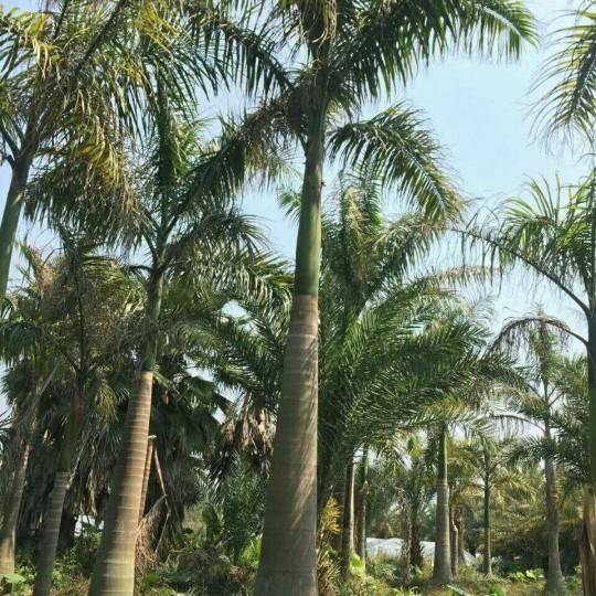 15公分大王椰子价格 四川大王椰子基地