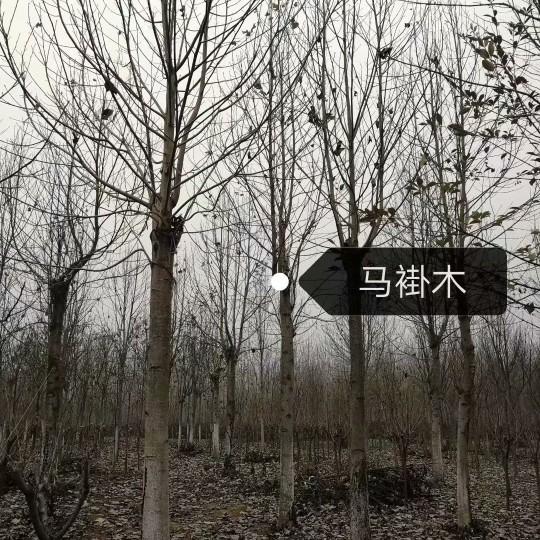 10公分马褂木价格 江苏马褂木基地