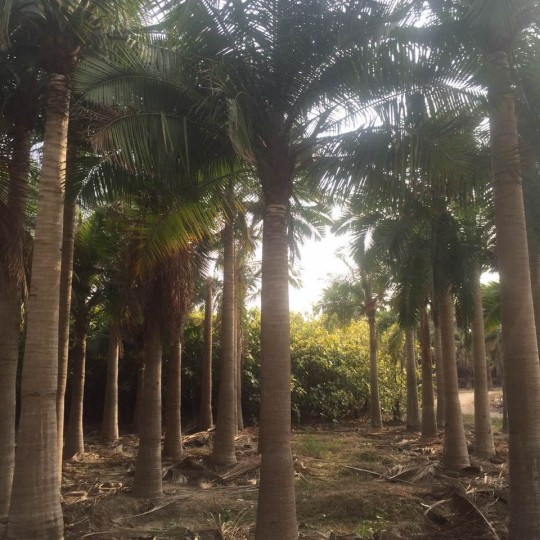 18公分国王椰子价格 重庆国王椰子基地