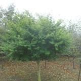 2公分鸡爪槭价格 江苏鸡爪槭基地