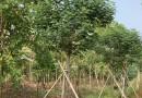 漳州多花风铃木 黄花风铃木 地径14公分基地价格
