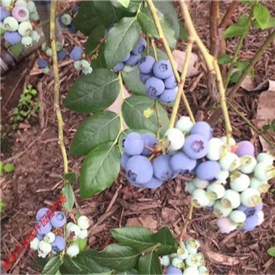 组培蓝莓苗 地栽蓝莓结果树 经济型蓝莓苗