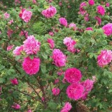 玫瑰价格 江苏玫瑰基地
