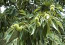 5公分板栗树价格 江苏板栗树基地