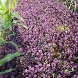 紫叶草价格 江苏紫叶草基地