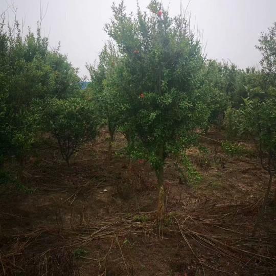 25公分石榴树价格 江苏石榴树基地
