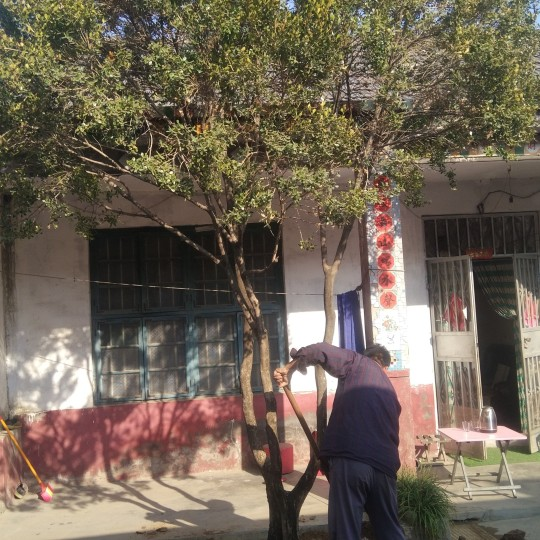 自家黄杨树处理 地径21公分 高4米