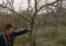 枣树苗价格 枣子树基地批发 枣树品种