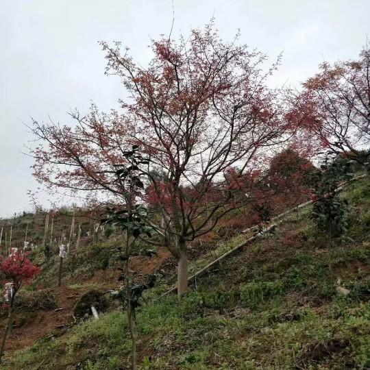 7公分日本红枫价格 江苏日本红枫基地