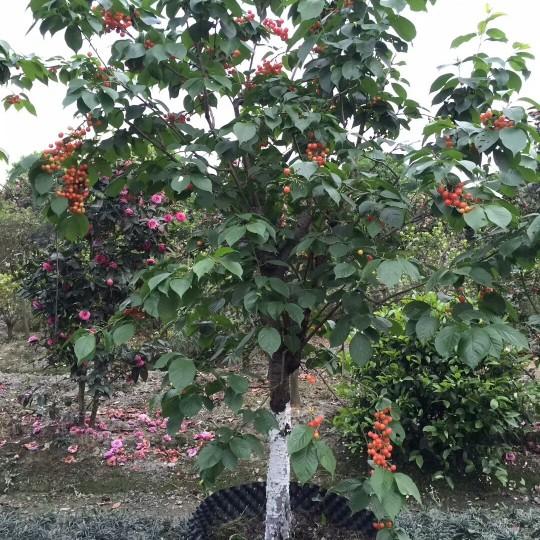 樱桃树价格 樱桃树苗价格 樱桃树批发
