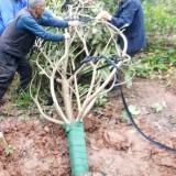 枇杷树苗价格  四川枇杷树苗种植基地