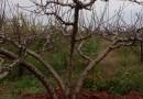 桃树价格 桃树批发 桃树品种 成都桃树基地