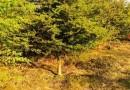 3公分鸡爪槭价格 江苏鸡爪槭基地