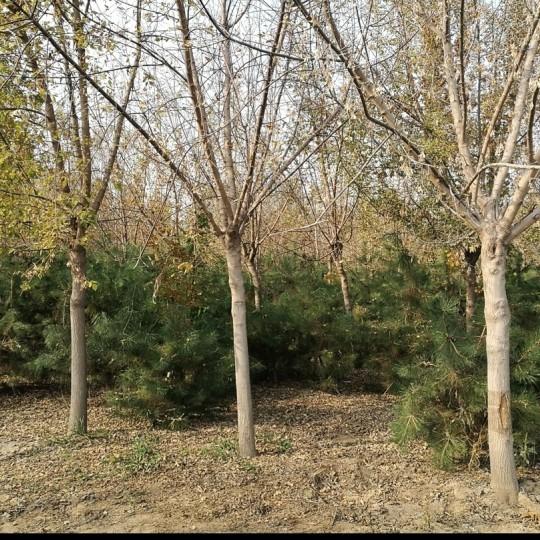 复叶槭基地批发