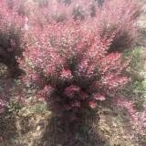 30公分高红叶小檗价格 江苏红叶小檗基地