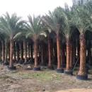 中东海枣移植苗价格  中东海枣移植苗批发