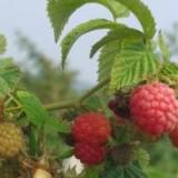 红树莓苗四季单季双季树莓苗马林托盘苗批发