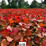 红叶杨树苗市场价格 红叶杨小苗基地批发